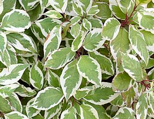 Cornus sibirica a variegated deciduous shrub