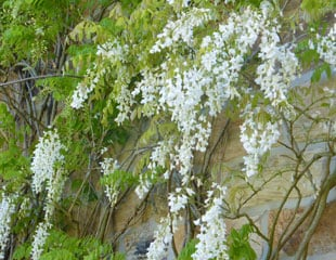 Wisteria just as lovely in white