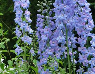 Delphiniums blooms