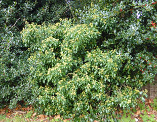 Hedera the common ivy with Ilex Holly a classic combination