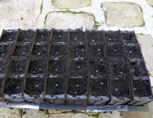 Sweet Peas sown into root trainers
