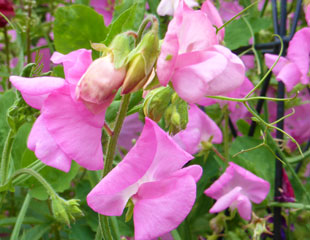 Sweet pea beautiful pink