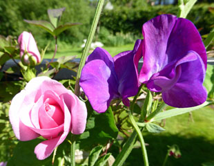 Sweet peas and roses lovely scented combination