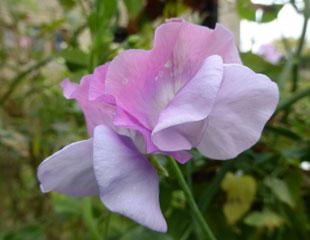 Sweet pea delicate Liliac