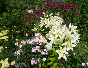 Lily in mixed border with Phlox, Achillea and Monarda