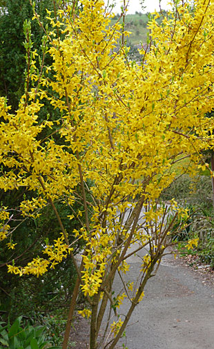 Forsythia shrub in full bloom
