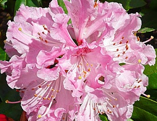 Rhododendron beautiful pink blooms