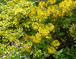 Rhododendron bright combination yellow flowering with Euonymus