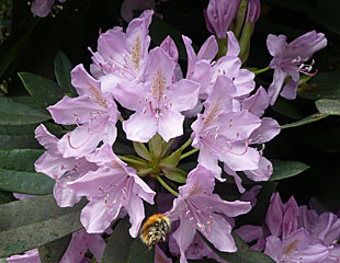 Mauve Rhododendron with bee