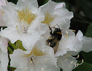 Rhododendron with bee