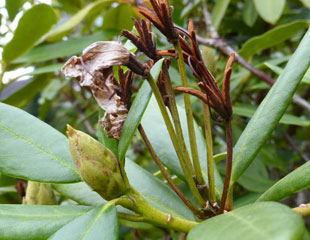how to cut back rhododendrons