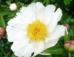 Paeonia common name Peony 'Krinkled white'