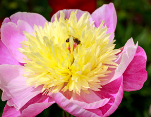 Paeonia common name Peony 'Bowl of Beauty'