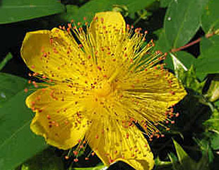 Summer flowering shrubs hypericum is lovely smaller sized shrub with attractive yellow flowers they tend not to be fussy about growing conditions and most are deciduous or semi mightylinksfo