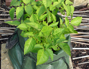 growing potatoes in a bag