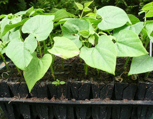 Runner beans germinated in root trainers