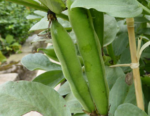 Broad beans in Pod