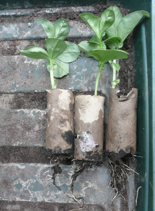 Broad beans germinated in toilet roll holders