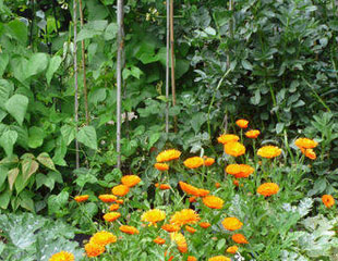 Runner beans and calendula companion planting