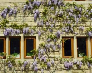 Wisteria 7 years later