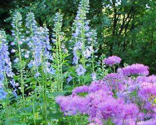 aquilegia-swan-lavender