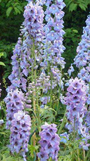 delphiniums-free-standing
