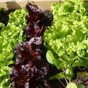 Lettuce-300-x-300 - Copy