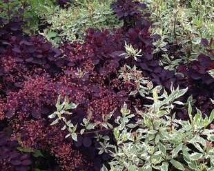 Cotinus-coggygria-with-Cornus-10-x-8
