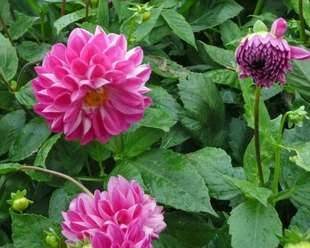 Pink Dahlia in bloom