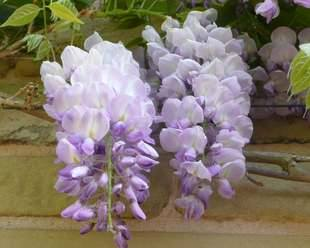 Lovely Wisteria blooms