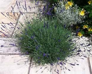 Lavender 'Hidcote' on a  path