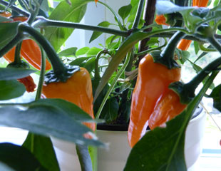 Chillies growing