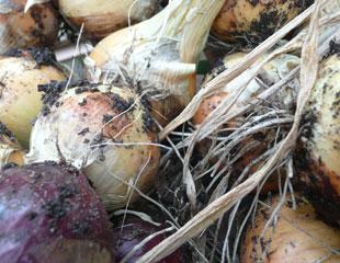 onions-growing-310-x-240