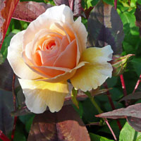 Summer Roses lovely scented 'Sweet Juliet'