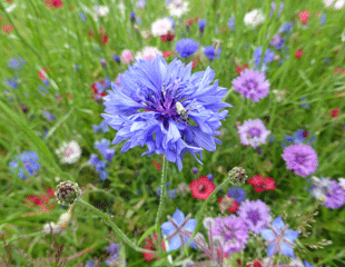 Cornflower wildflowers