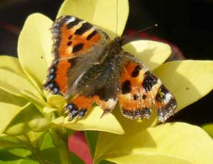 Small Tortoiseshell on Choisya