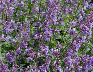 Cat mint latin name Nepeta
