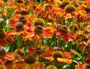 helenium-septemberfuchs.
