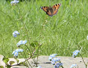 Forget me nots with butterfly