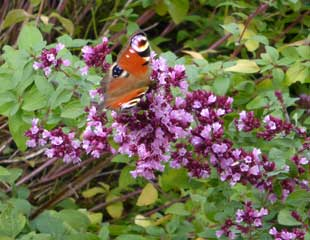 Marjoram with butterfly