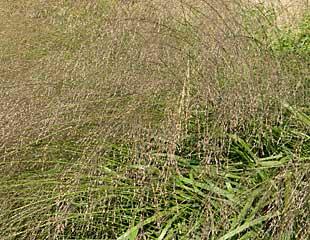 Grasses Molinia caerulea