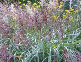 Grasses Miscanthus  sinensis 'Positano'