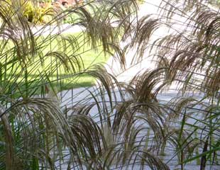 Grasses miscanthus nepalensis