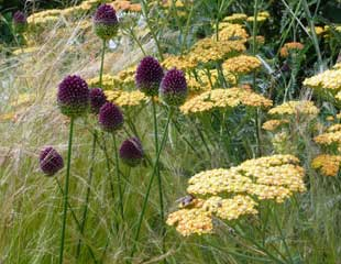 allium grasses and Achillea
