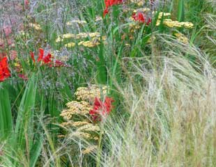Grasses deschampsia and crocosmia