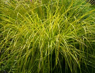 Grasses sedge Carex 'Golden Bowles'