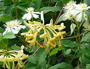 Honeysuckle and Clematis