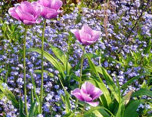 Spring Plant combinations Tulips and forget me nots
