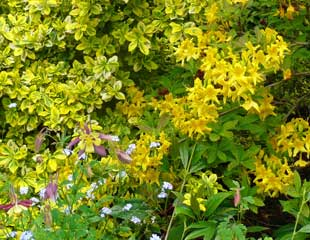 Aquilegia 'Swan-Lavender' with Euonymus fortunei Emerald Goldand Rhododendron luteum