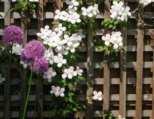 Allium against a backdrop of clematis montana